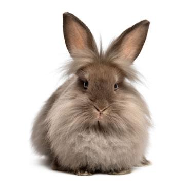 dwarf lop rabbit feeding guide